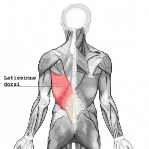 Anatomical image of the latissimus dorsi muscle which should be heavily engaged in the deadlift exercise